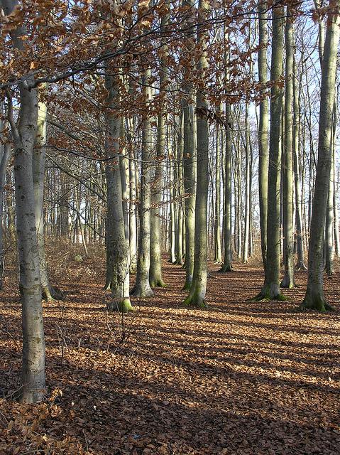 Бук- описание дерева, виды, посадка и уход, распространение