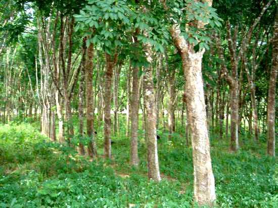 Дерево из которого получают каучук