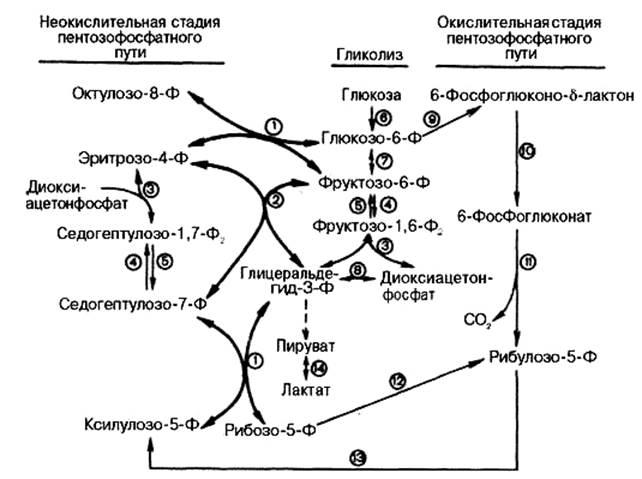 Гормон регулирующий содержание глюкозы в крови что снижает и повышает сахар