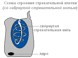 функция стрекательных клеток гидры