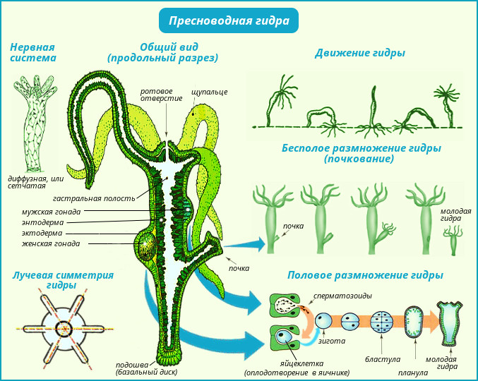 Жизненный цикл медузы размножение