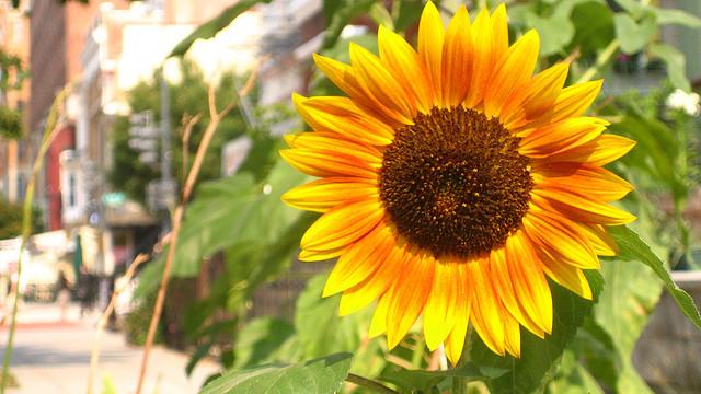 Рассказ о подсолнухе 3 класс: подсолнечник описание растения