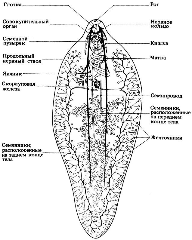 Основные органы печеночного сосальщика